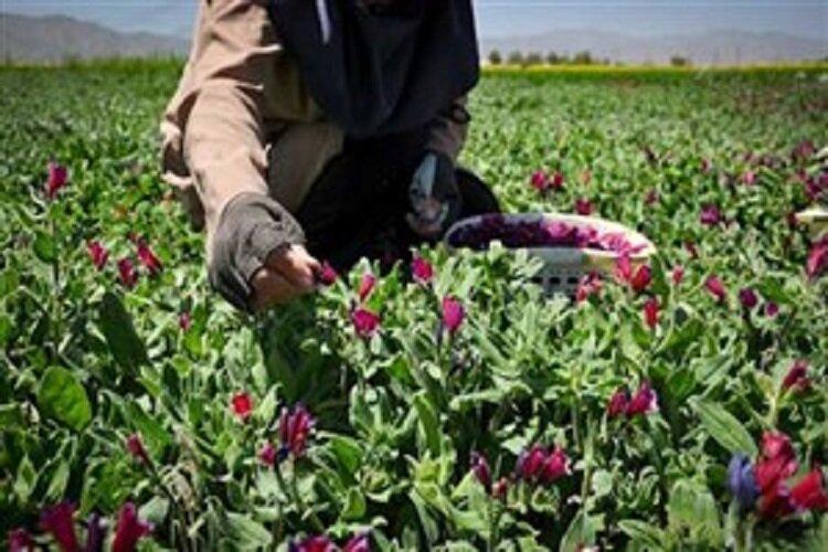 اهلیسازی گیاهان دارویی در مجتمع تحقیقات گیاهان دارویی جهاد دانشگاهی لرستان
