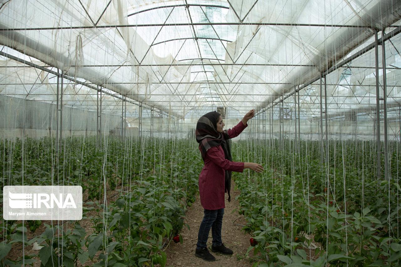 کشت گلخانهای در اولویت برنامههای جهاد کشاورزی لرستان