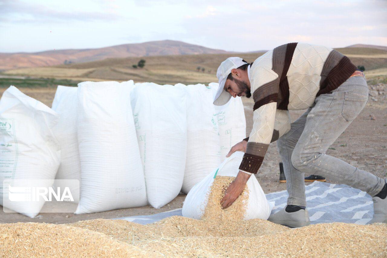 خرید تضمینی گندم در لرستان ۵۷درصد کاهش یافت